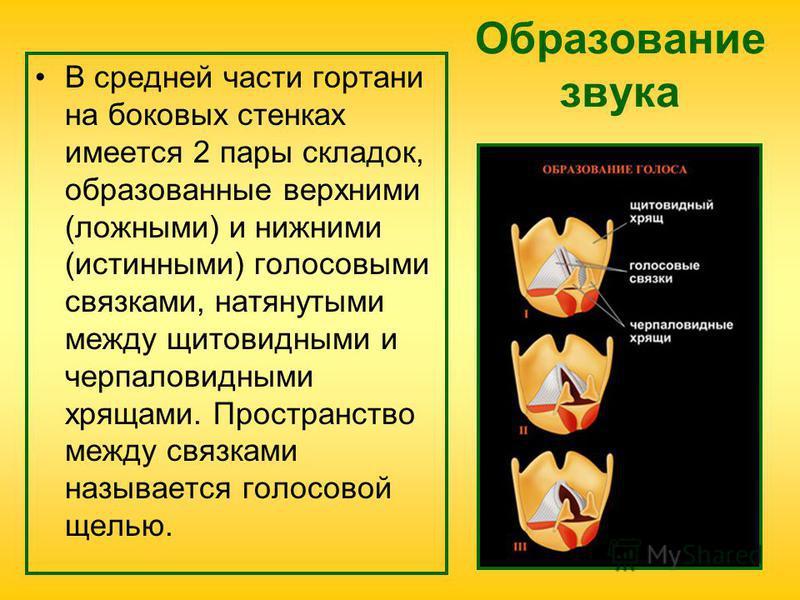 Образование звука В средней части гортани на боковых стенках имеется 2 пары складок, образованные верхними (ложными) и нижними (истинными) голосавыми связками, натянутыми между щитовидными и черпаловидными хрящами. Пространство между связками называе