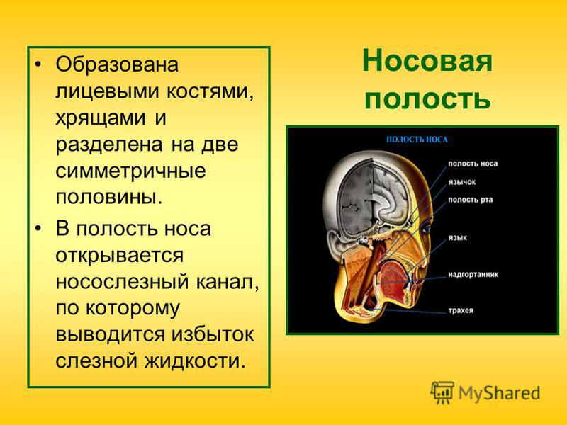 Носовая полость Образована лицевыми костями, хрящами и разделена на две симметричные половины. В полость носа открывается носослезный канал, по которому выводится избыток слезной жидкости.