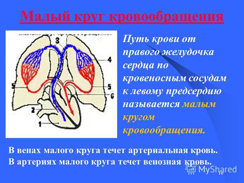 10 Малый круг кровообращения Путь крови от правого желудочка сердца по кровеносным сосудам к левому предсердию называется малым кругом кровообращения. В венах малого круга течет артериальная кровь. В артериях малого круга течет венозная кровь.