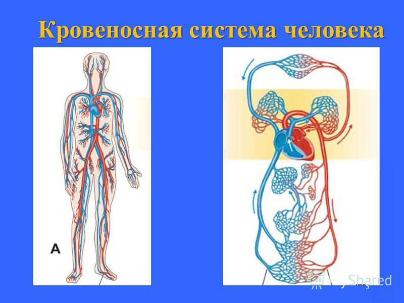 5 Кровеносная система человека