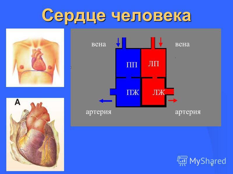 Сердце человека 6 артерия вена ЛП ЛЖ ПП ПЖ