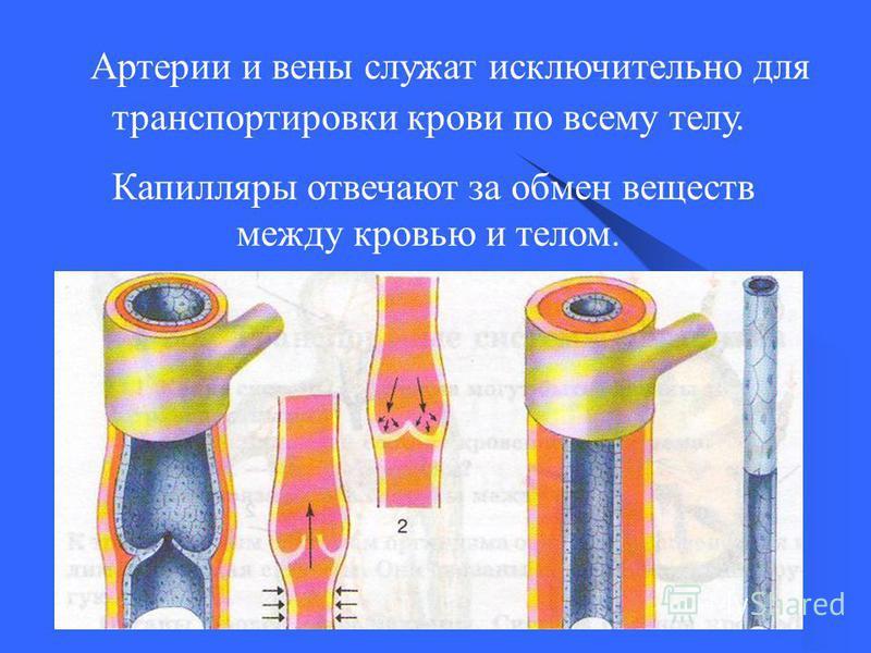 7 Артерии и вены служат исключительно для транспортировки крови по всему телу. Капилляры отвечают за обмен веществ между кровью и телом.