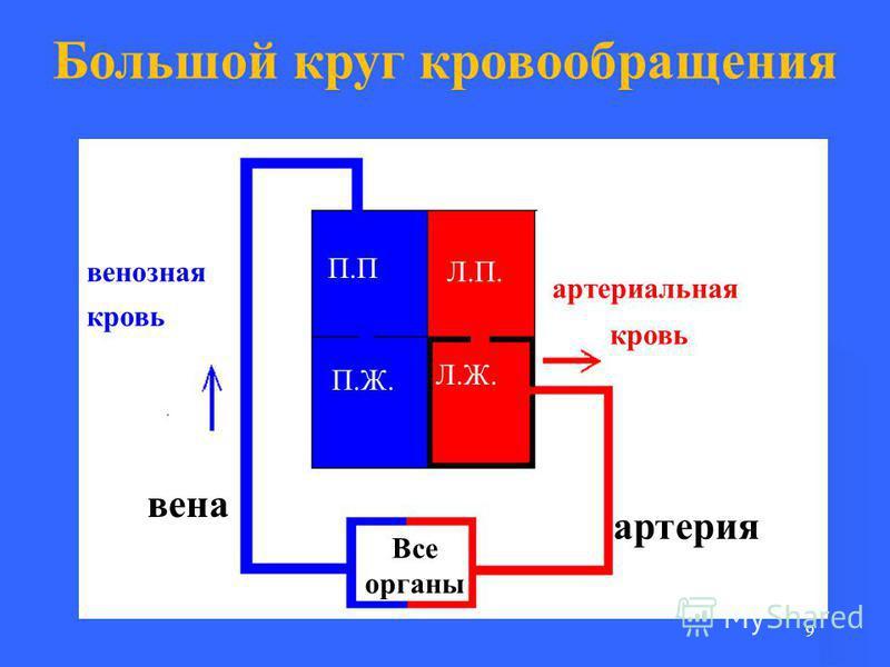 9 Большой круг кровообращения П.П П.Ж. Л.П. Л.Ж. Все органы артерия вена артериальная кровь венозная кровь