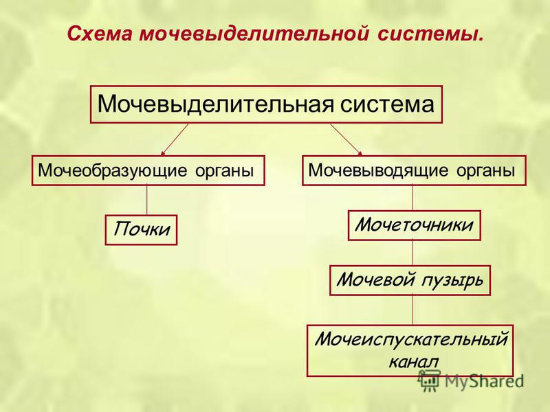 Схема мочевыделительной системы. Мочевыделительная система Мочеобразующие органы Мочевыводящие органы Почки Мочеточники Мочевой пузырь Мочеиспускательный канал