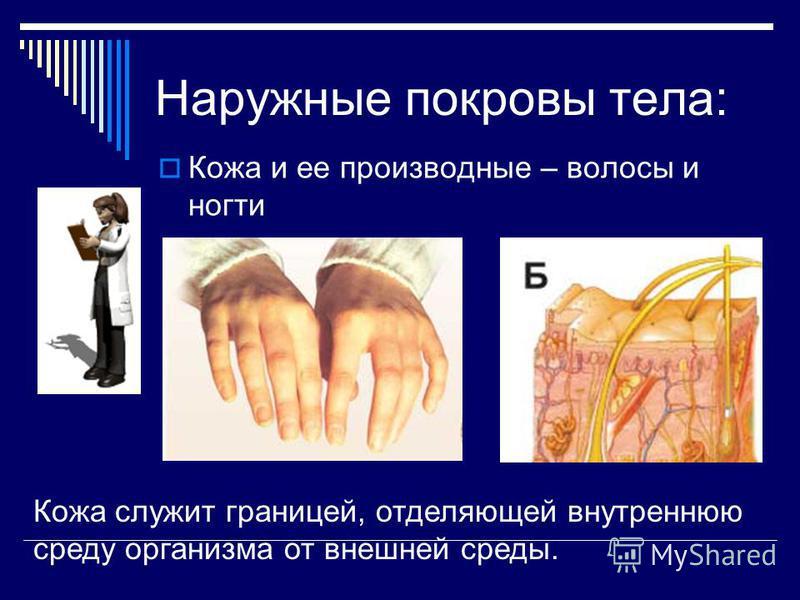 Наружные покровы тела: Кожа и ее производные – волосы и ногти Кожа служит границей, отделяющей внутреннюю среду организма от внешней среды.