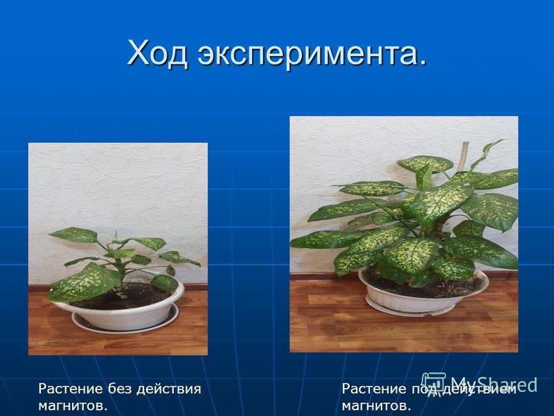 Ход эксперимента. Растение без действия магнитов. Растение под действием магнитов.
