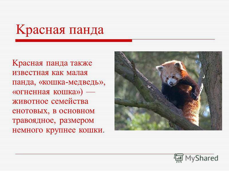Kрасная панда также известная как малая панда, «кошка-медведь», «огненная кошка») животное семейства енотовых, в основном травоядное, размером немного крупнее кошки. Kрасная панда