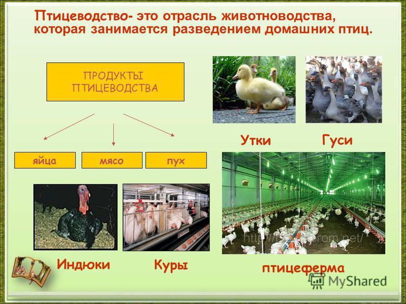 Птицеводство - это отрасль животноводства, которая занимается разведением домашних птиц. Утки Индюки Гуси Куры яйца мясо пух ПРОДУКТЫ ПТИЦЕВОДСТВА птицеферма