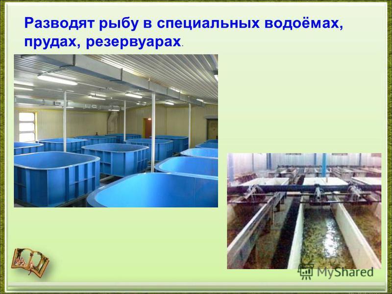 Разводят рыбу в специальных водоёмах, прудах, резервуарах.
