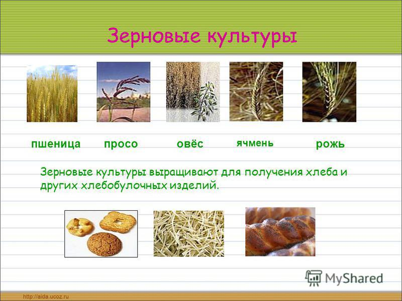Зерновые культуры пшеницаовёсрожьпросо ячмень Зерновые культуры выращивают для получения хлеба и других хлебобулочных изделий.