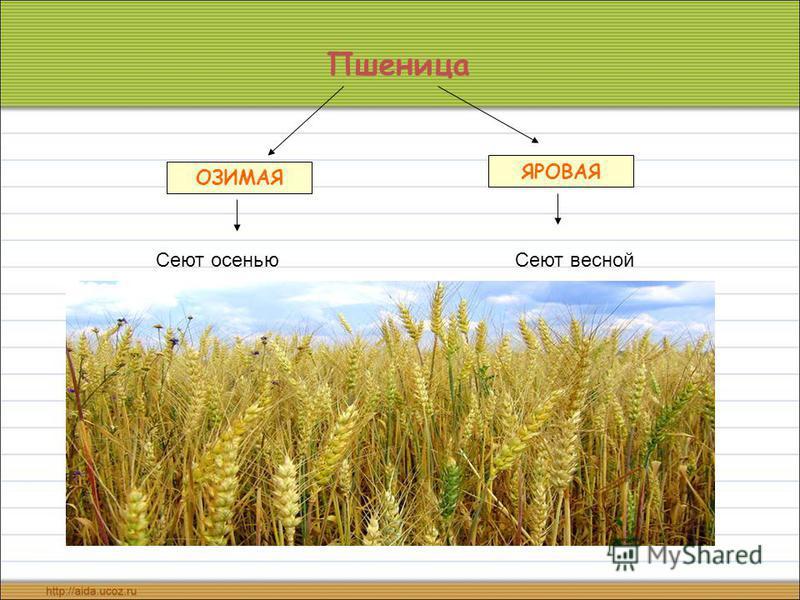 Пшеница ОЗИМАЯ ЯРОВАЯ Сеют осенью Сеют весной