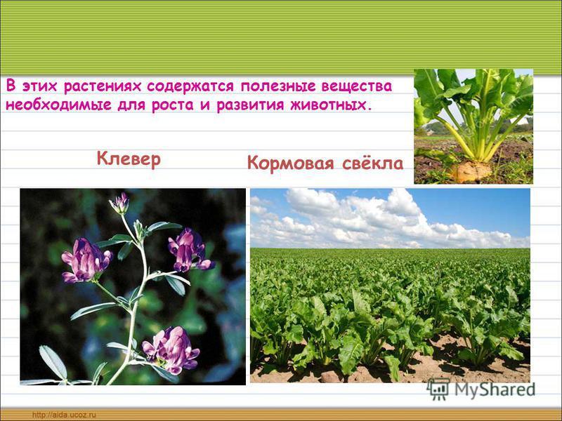 Кормовая свёкла Клевер В этих растениях содержатся полезные вещества необходимые для роста и развития животных.