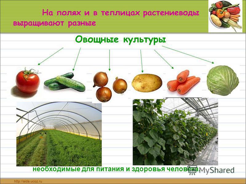 На полях и в теплицах растениеводы выращивают разные Овощные культуры необходимые для питания и здоровья человека.