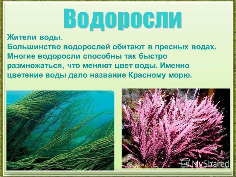 Жители воды. Большинство водорослей обитают в пресных водах. Многие водоросли способны так быстро размножаться, что меняют цвет воды. Именно цветение воды дало название Красному морю.