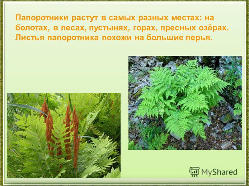Папоротники растут в самых разных местах: на болотах, в лесах, пустынях, горах, пресных озёрах. Листья папоротника похожи на большие перья.