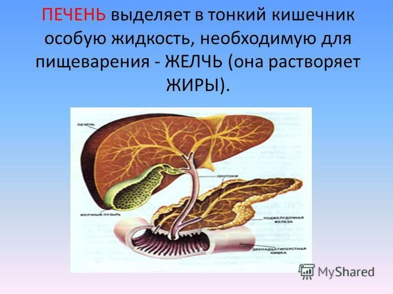 ПЕЧЕНЬ выделяет в тонкий кишечник особую жидкость, необходимую для пищеварения - ЖЕЛЧЬ (она растворяет ЖИРЫ).
