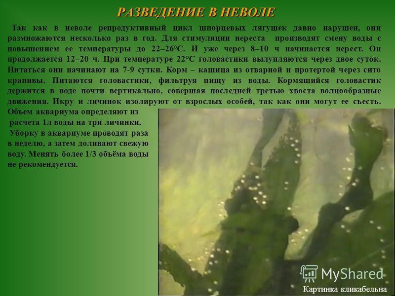 Так как в неволе репродуктивный цикл шпорцевых лягушек давно нарушен, они размножаются несколько раз в год. Для стимуляции нереста производят смену воды с повышением ее температуры до 22–26°С. И уже через 8–10 ч начинается нерест. Он продолжается 12–