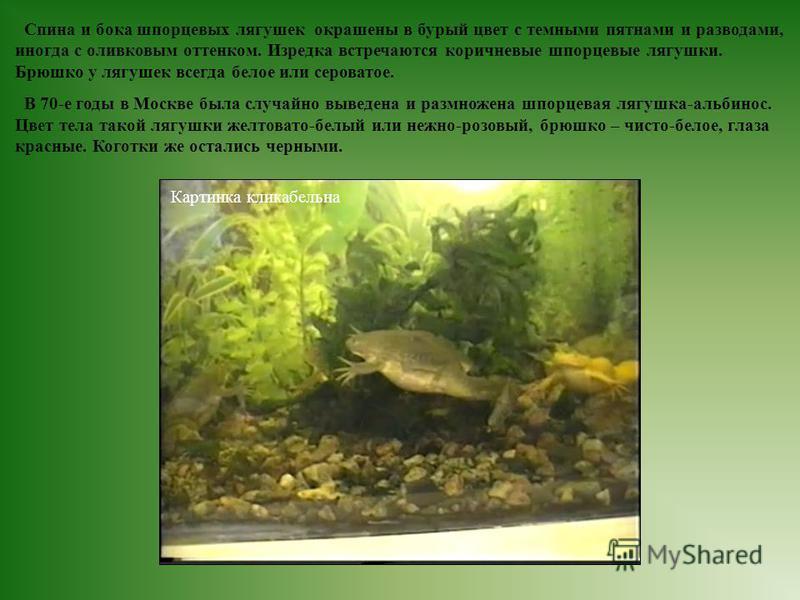 Спина и бока шпорцевых лягушек окрашены в бурый цвет с темными пятнами и разводами, иногда с оливковым оттенком. Изредка встречаются коричневые шпорцевые лягушки. Брюшко у лягушек всегда белое или сероватое. В 70-е годы в Москве была случайно выведен