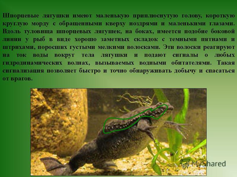 Шпорцевые лягушки имеют маленькую приплюснутую голову, короткую круглую морду с обращенными кверху ноздрями и маленькими глазами. Вдоль туловища шпорцевых лягушек, на боках, имеется подобие боковой линии у рыб в виде хорошо заметных складок с темными