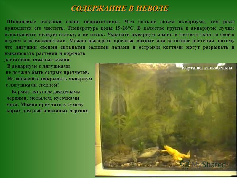 СОДЕРЖАНИЕ В НЕВОЛЕ Шпорцевые лягушки очень неприхотливы. Чем больше объем аквариума, тем реже приходится его чистить. Температура воды 19-26°С. В качестве грунта в аквариуме лучше использовать мелкую гальку, а не песок. Украсить аквариум можно в соо