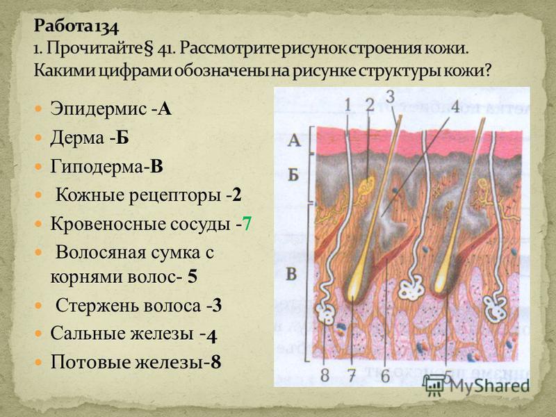 Эпидермис -А Дерма -Б Гиподерма-В Кожные рецепторы -2 Кровеносные сосуды -7 Волосяная сумка с корнями волос- 5 Стержень волоса -3 Сальные желез ы -4 Потовые железы-8