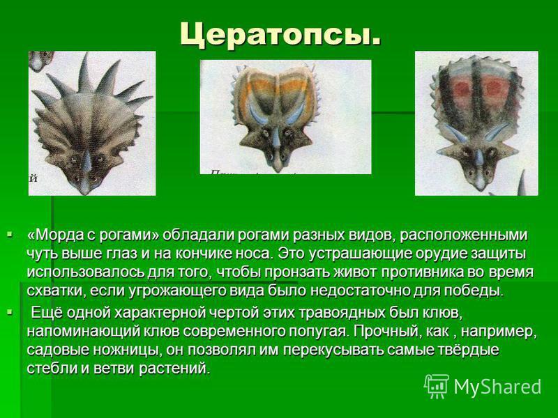 Цератопсы. Цератопсы. «Морда с рогами» обладали рогами разных видов, расположенными чуть выше глаз и на кончике носа. Это устрахшающие орудие защиты использовалось для того, чтобы пронзать живот противника во время схватки, если угрожающего вида было