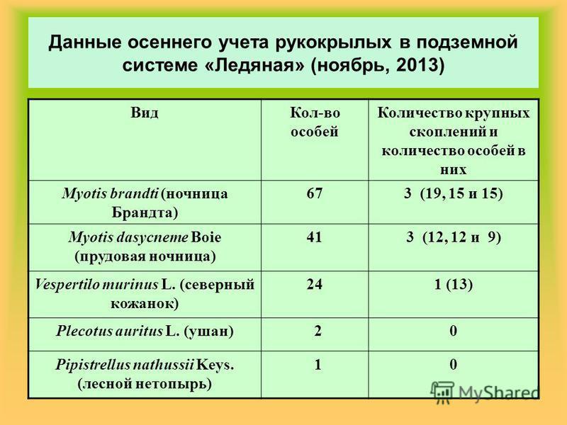 Данные осеннего учета рукокрылых в подземной системе «Ледяная» (ноябрь, 2013) Вид Кол-во особей Количество крупных скоплений и количество особей в них Myotis brandti (ночница Брандта) 673 (19, 15 и 15) Myotis dasycneme Boie (прудовая ночница) 413 (12