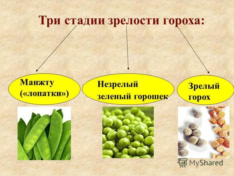 Три стадии зрелости гороха: Манжту («лопатки») Незрелый зеленый горошек Зрелый горох
