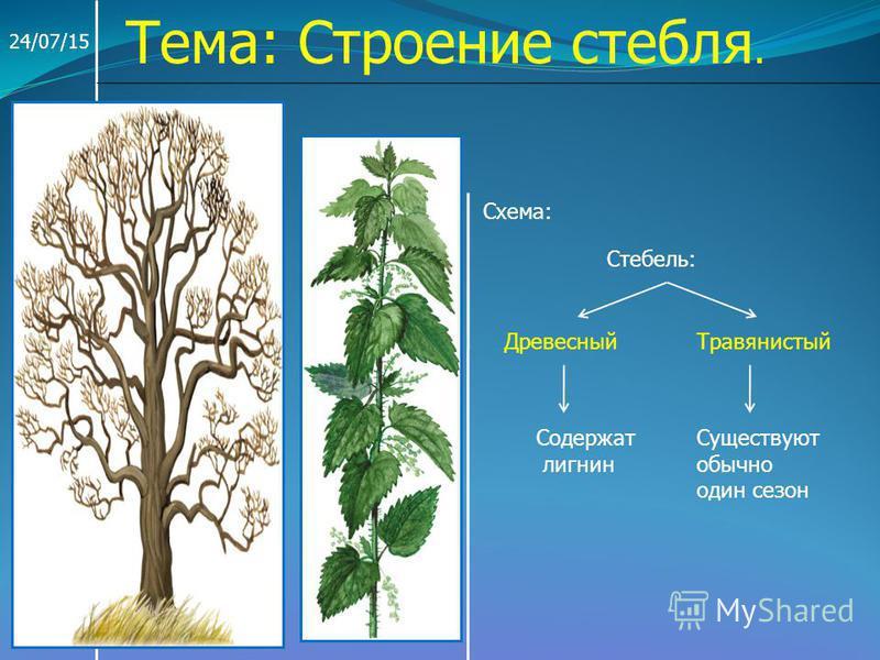 24/07/15 Тема: Строение стебля. Схема: Стебель: Древесный Травянистый Содержат лигнин Существуют обычно один сезон