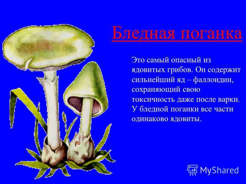 Бледная поганка Это самый опасный из ядовитых грибов. Он содержит сильнейший яд – фаллоидин, сохраняющий свою токсичность даже после варки. У бледной поганки все части одинаково ядовиты.