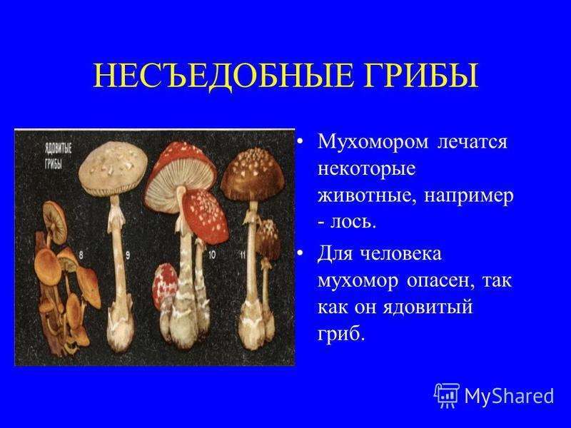 НЕСЪЕДОБНЫЕ ГРИБЫ Мухомором лечатся некоторые животные, например - лось. Для человека мухомор опасен, так как он ядовитый гриб.