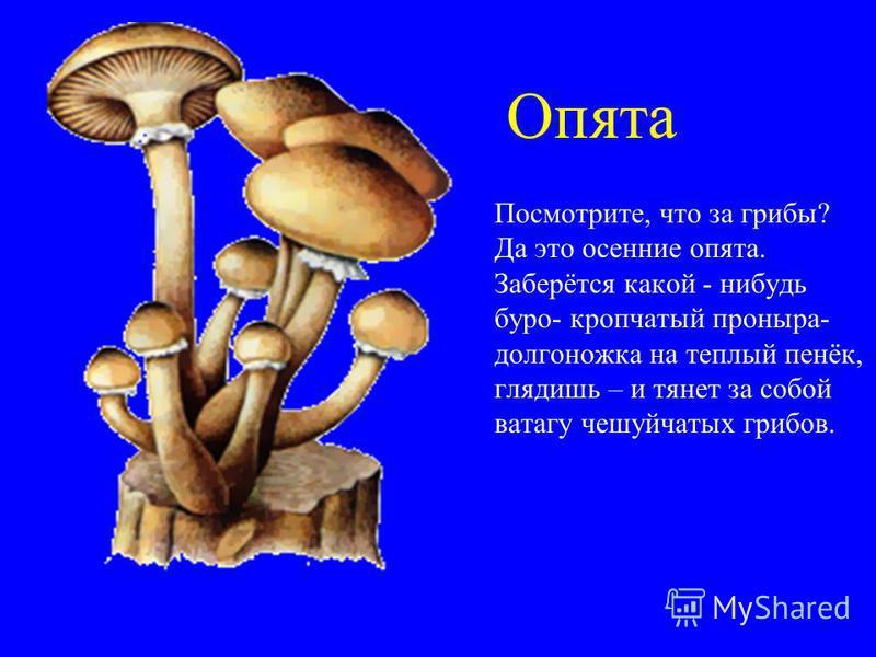 Опята Посмотрите, что за грибы? Да это осенние опята. Заберётся какой - нибудь буро- крапчатый проныра- долгоножка на теплый пенёк, глядишь – и тянет за собой ватагу чешуйчатых грибов.