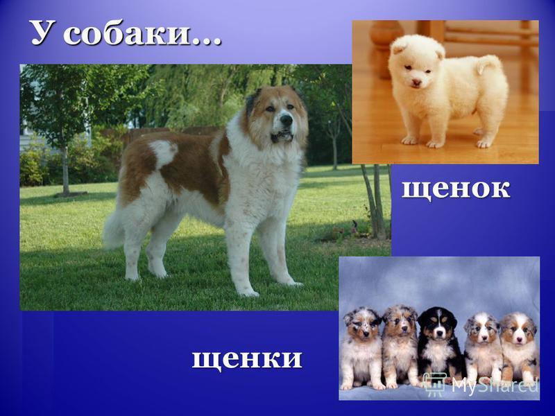 У собаки… щенки щенок