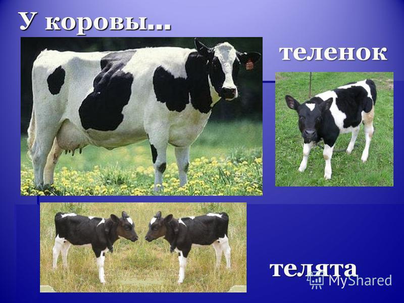 У коровы … теленок телята