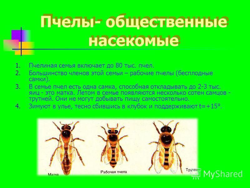 Пчелы- общественные насекомые 1. Пчелиная семья включает до 80 тыс. пчел. 2. Большинство членов этой семьи – рабочие пчелы (бесплодные самки). 3. В семье пчел есть одна самка, способная откладывать до 2-3 тыс. яиц - это матка. Летом в семье появляютс