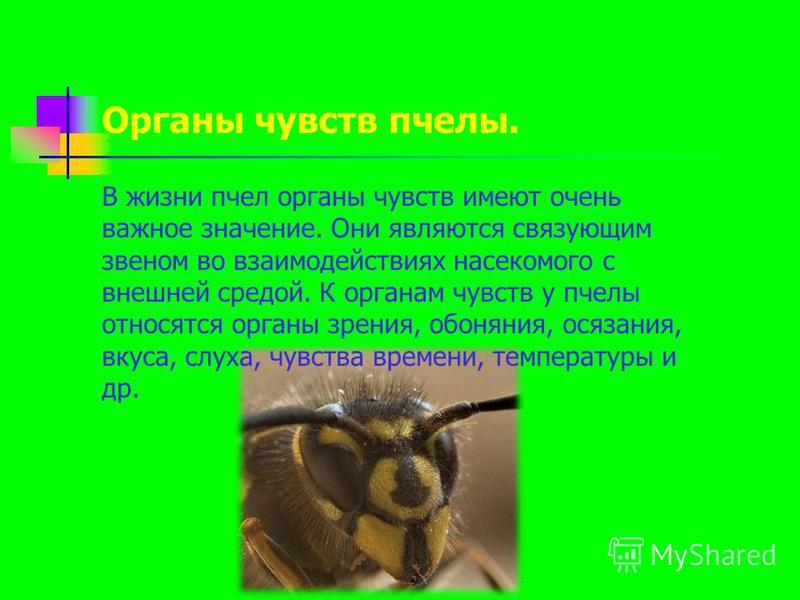 В жизни пчел органы чувств имеют очень важное значение. Они являются связующим звеном во взаимодействиях насекомого с внешней средой. К органам чувств у пчелы относятся органы зрения, обоняния, осязания, вкуса, слуха, чувства времени, температуры и д