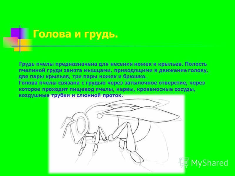 Грудь пчелы предназначена для несения ножек и крыльев. Полость пчелиной груди занята мышцами, приводящими в движение голову, две пары крыльев, три пары ножек и брюшко. Голова пчелы связана с грудью через затылочное отверстие, через которое проходит п