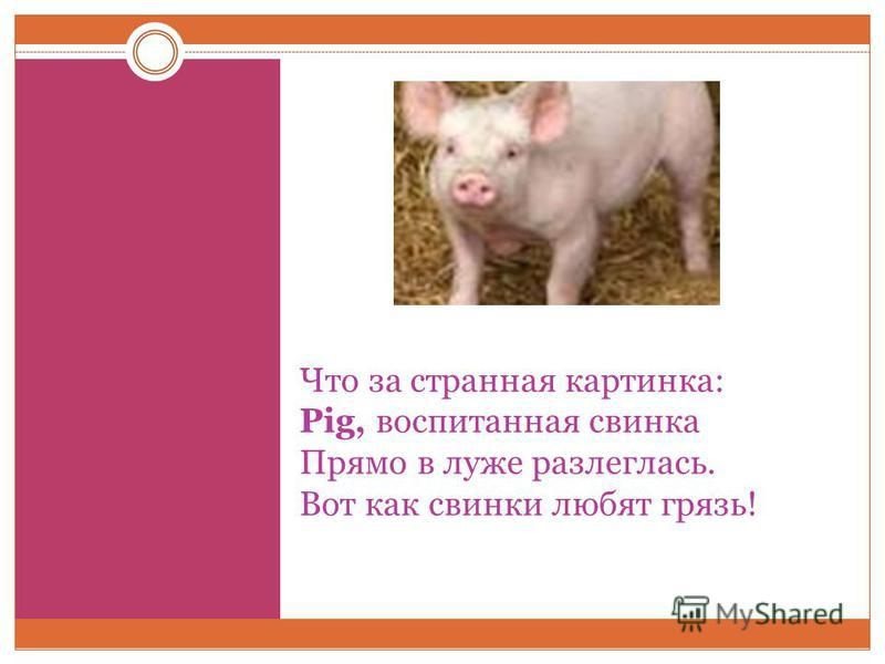 Что за странная картинка: Pig, воспитанная свинка Прямо в луже разлеглась. Вот как свинки любят грязь!