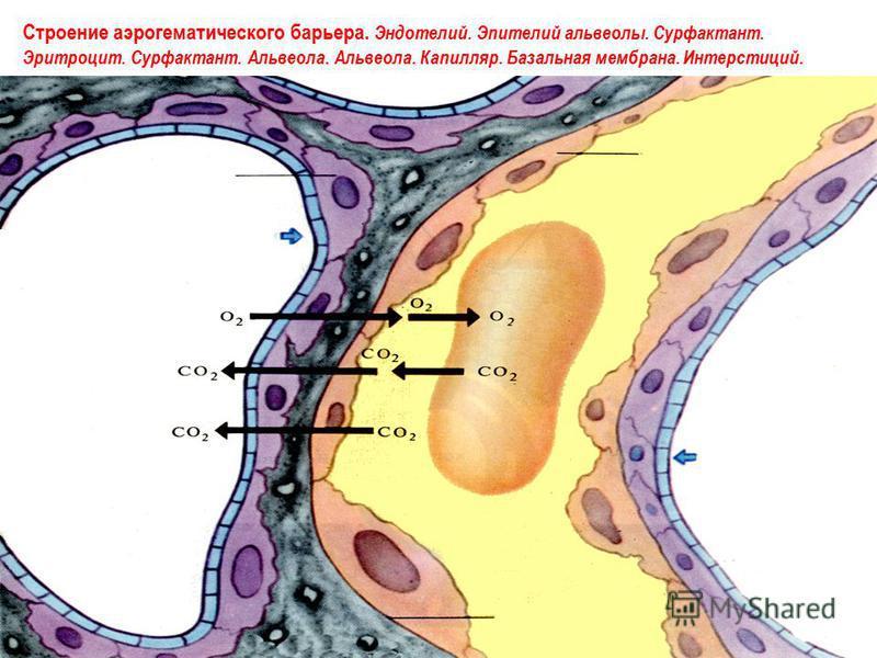 Строение аэрогематического барьера. Эндотелий. Эпителий альвеолы. Сурфактант. Эритроцит. Сурфактант. Альвеола. Альвеола. Капилляр. Базальная мембрана. Интерстиций.