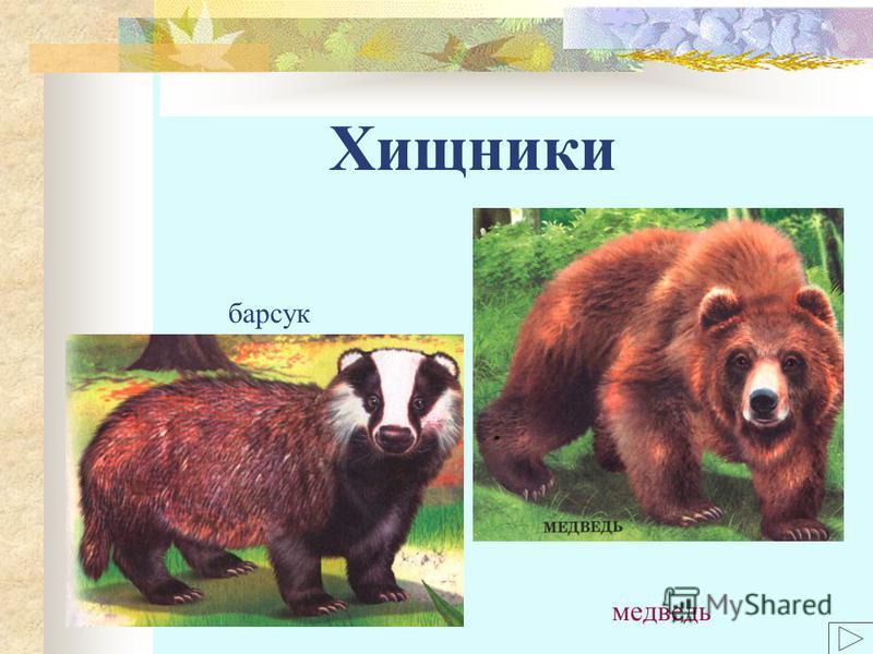 Хищники барсук медведь