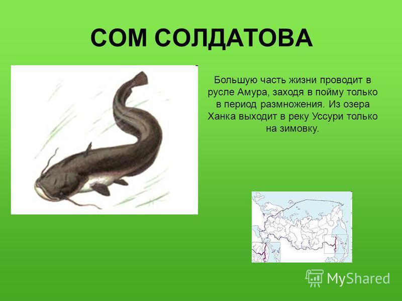 СОМ СОЛДАТОВА Большую часть жизни проводит в русле Амура, заходя в пойму только в период размножения. Из озера Ханка выходит в реку Уссури только на зимовку.