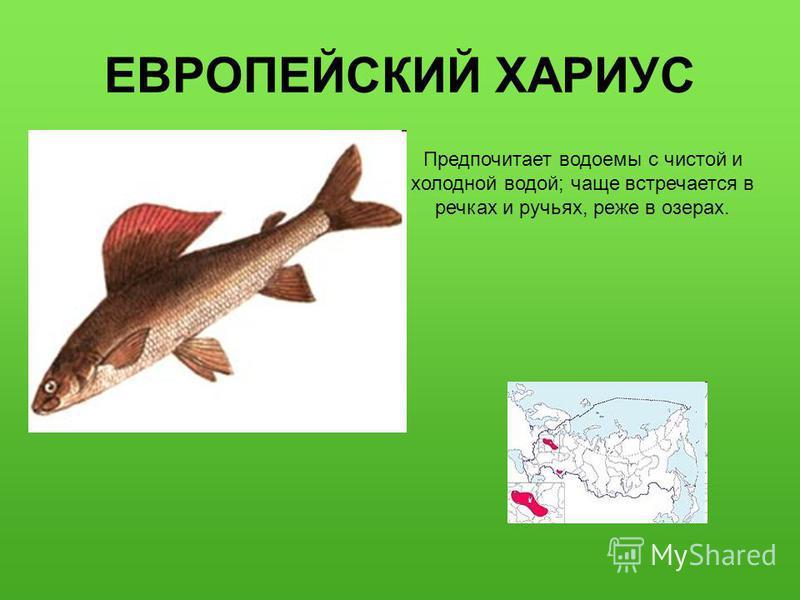 ЕВРОПЕЙСКИЙ ХАРИУС Предпочитает водоемы с чистой и холодной водой; чаще встречается в речках и ручьях, реже в озерах.