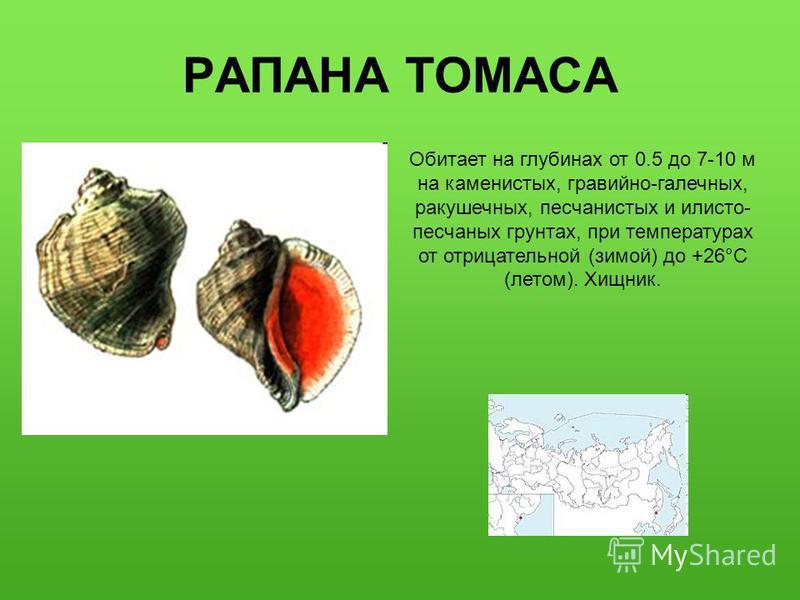 РАПАНА ТОМАСА Обитает на глубинах от 0.5 до 7-10 м на каменистых, гравийно-галечных, ракушечных, песчанистых и илисто- песчаных грунтах, при температурах от отрицательной (зимой) до +26°C (летом). Хищник.