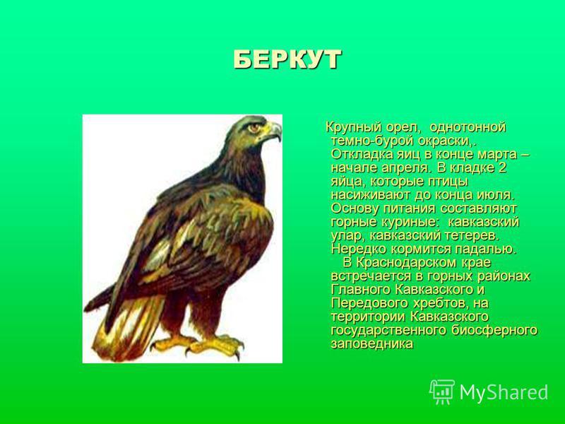 БЕРКУТ Крупный орел, однотонной темно-бурой окраски,. Откладка яиц в конце марта – начале апреля. В кладке 2 яйца, которые птицы насиживают до конца июля. Основу питания составляют горные куриные: кавказский улар, кавказский тетерев. Нередко кормится
