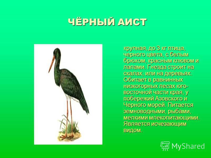 ЧЁРНЫЙ АИСТ крупная, до 3 кг птица, черного цвета, с белым брюхом, красным клювом и лапами. Гнезда строит на скалах, или на деревьях. Обитает в равнинных низкогорных лесах юго- восточной части края, у побережий Азовского и Черного морей. Питается зем