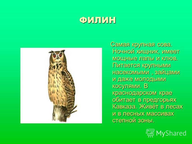 ФИЛИН Самая крупная сова. Ночной хищник, имеет мощные лапы и клюв. Питается крупными насекомыми, зайцами и даже молодыми косулями. В краснодарском крае обитает в предгорьях Кавказа. Живёт в лесах и в лесных массивах степной зоны. Самая крупная сова.