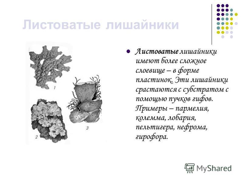 Листоватые лишайники Листоватые лишайники имеют более сложное слоевище – в форме пластинок. Эти лишайники срастаются с субстратом с помощью пучков гифов. Примеры – пармелия, колемма, лобария, пельтигера, нефрома, гидрофора.