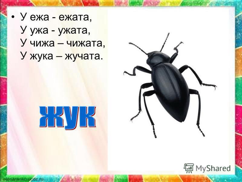 У ежа - ежата, У ужа - ужата, У чижа – чижата, У жука – жучата.