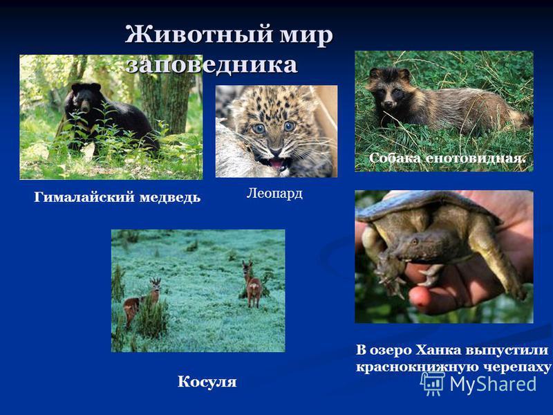 Животный мир заповедника Гималайский медведь Собака енотовидная. Косуля В озеро Ханка выпустили красно книжную черепаху Леопард