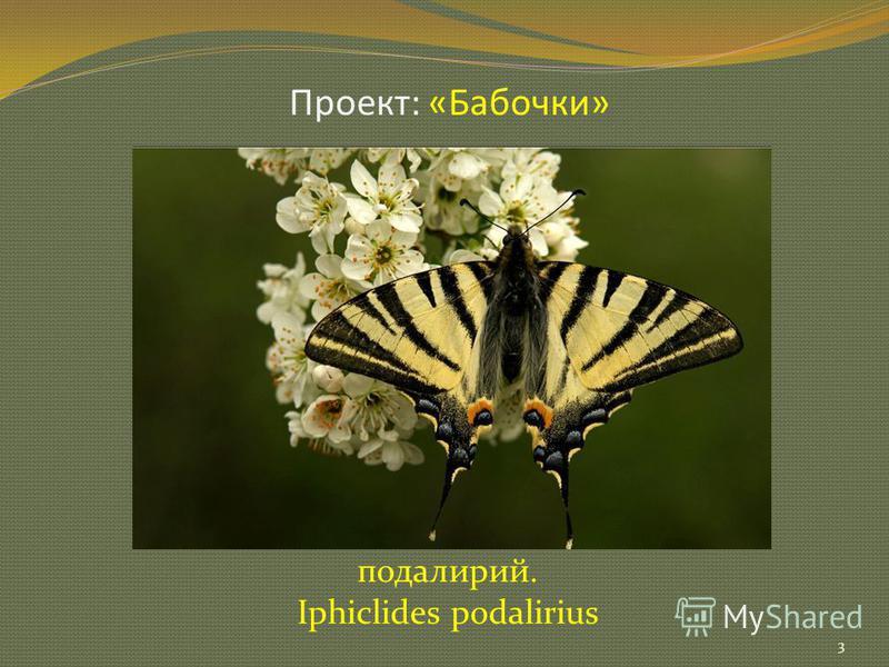 Проект: «Бабочки» подалирий. Iphiclides podalirius 3